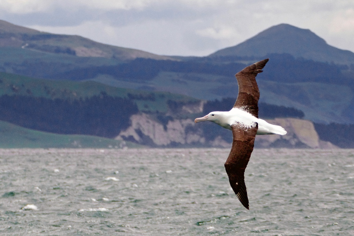Albatross flying at Otago Peninsula